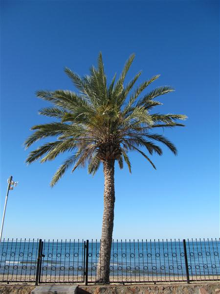 Date Palm Image
