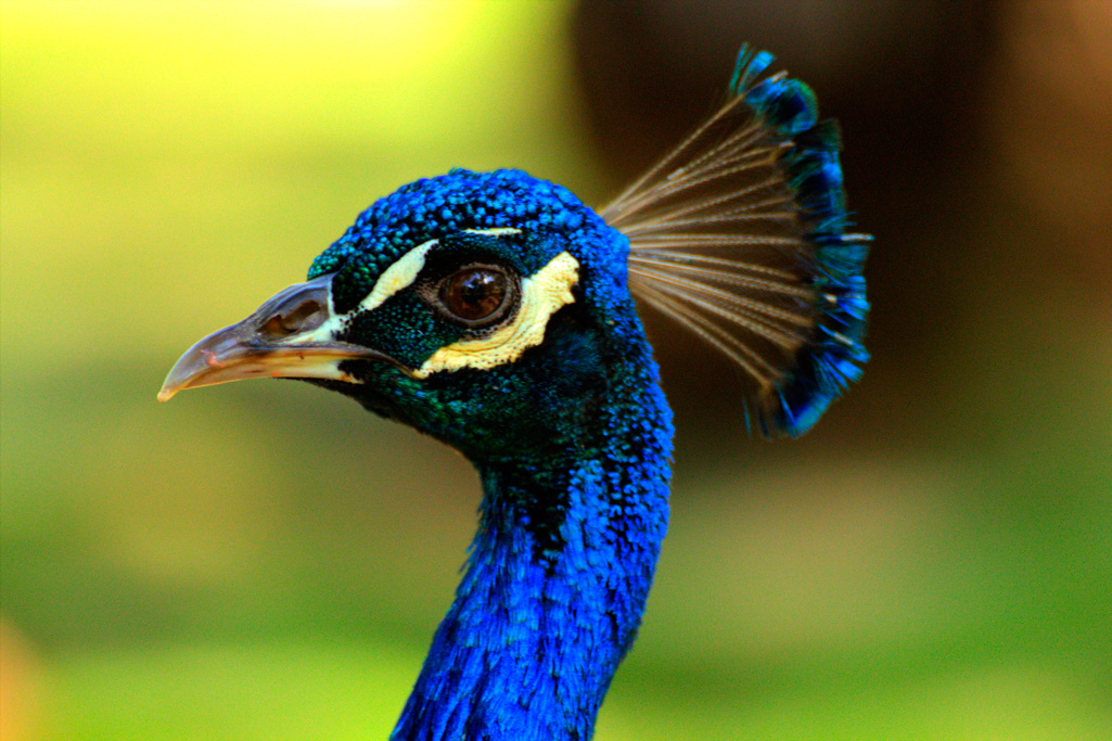 Peacock Image