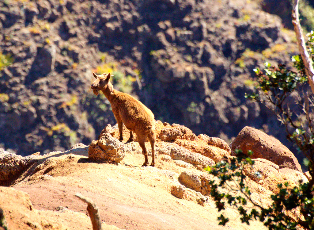 Wild Goat in Waimea Canyon Image