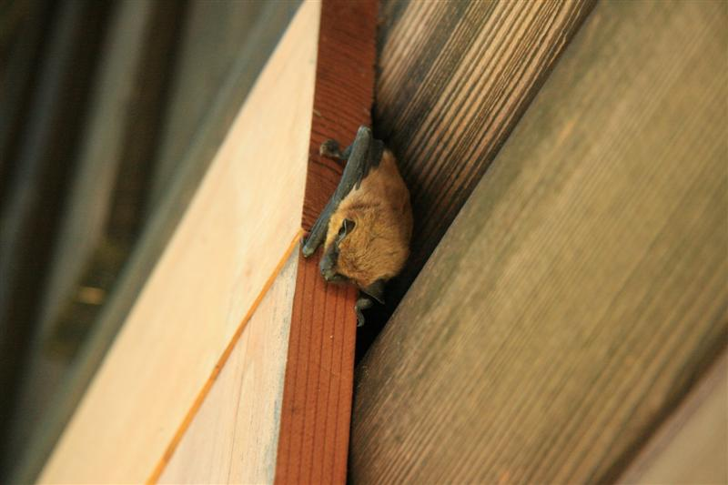 Brown Bat-1