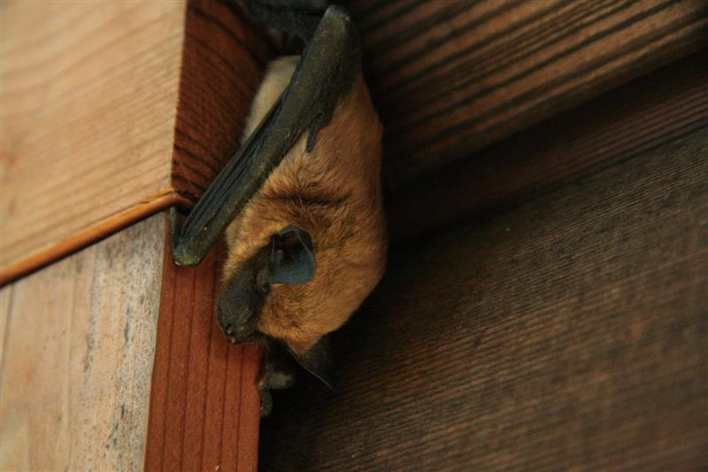 Brown Bat-2