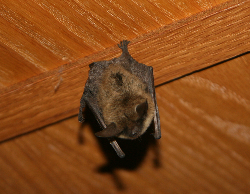 Brown Bat Image