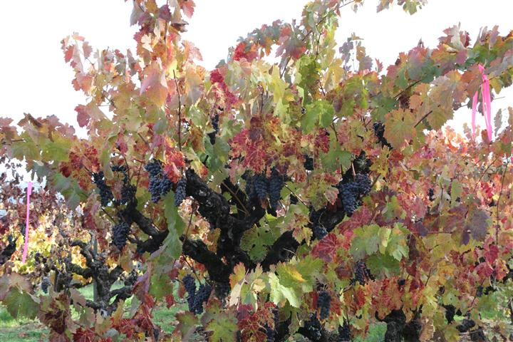 Fall Grapevines Image